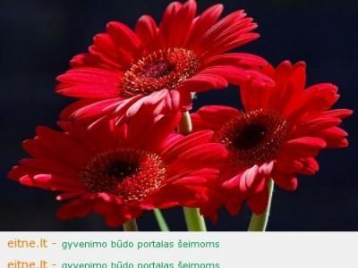 Raudonos gėlės, arba sveikinimas visiems mokytojams